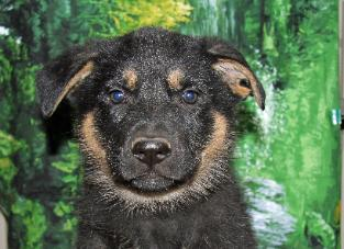 GUARDIAN ANGEL SHEPHERDS - Superior German Shepherd Puppies
